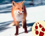 5-9_Learn_fox