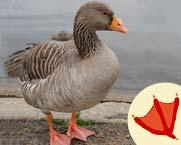 5-9_Learn_goose