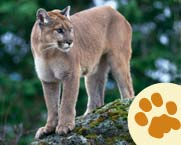5-9_Learn_mountain-lion